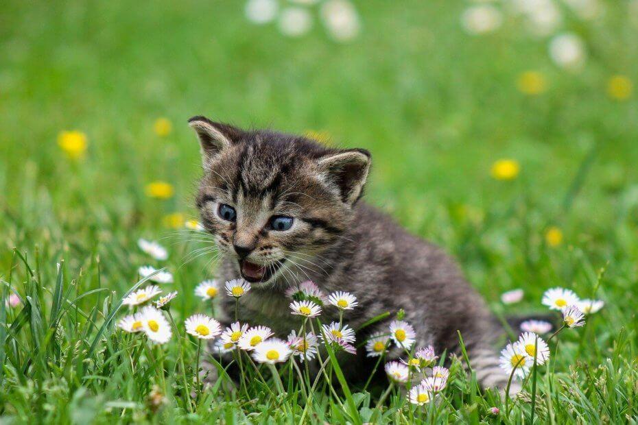 chaton qui miaule